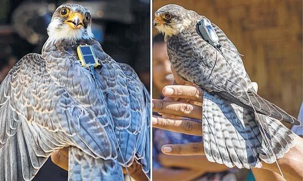 Amur falcon roost at Hakhizhe village near Dimapur