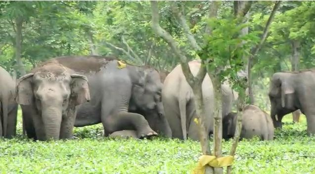 Assam: Another woman mauled to death by elephant herd