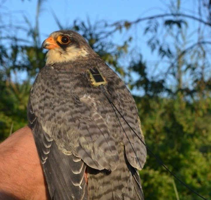 GPS tagged Amur Falcons reaches Manipur