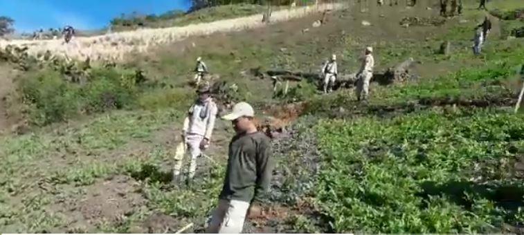 Destroying Poppy Plantation in Manipur days after harvesting is a Hogwash says villagers