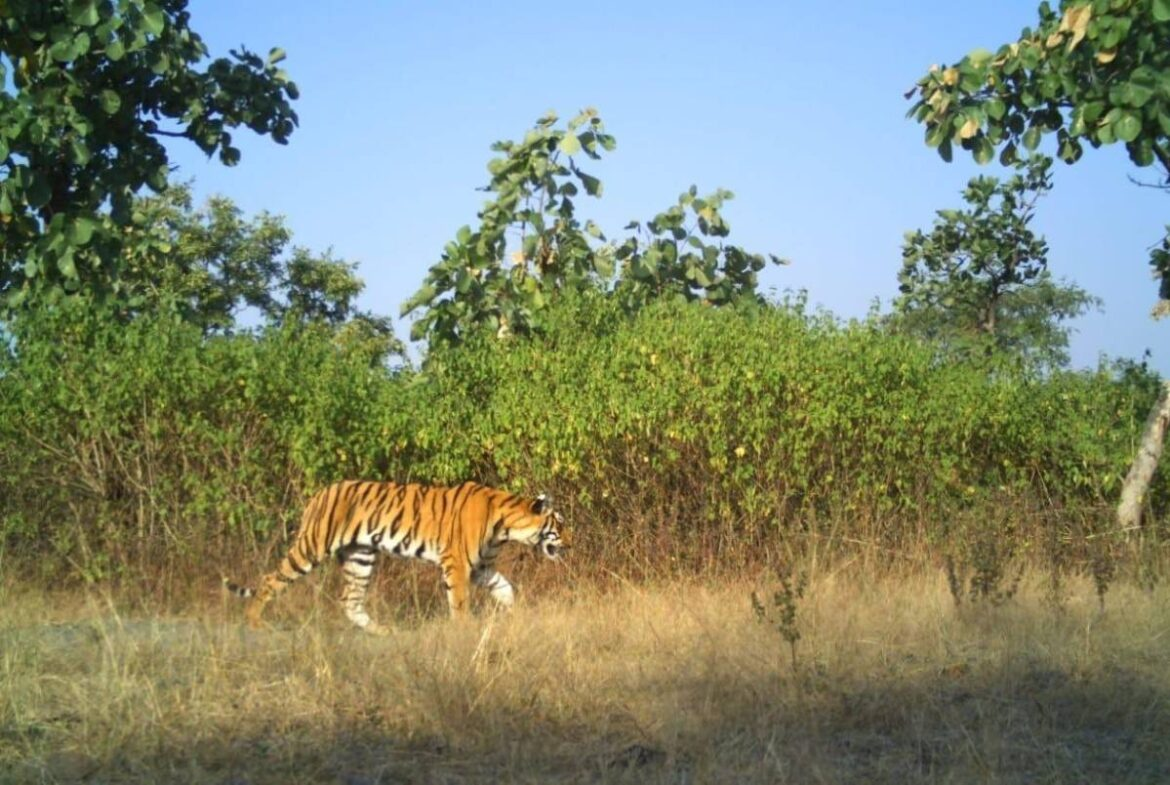 WATCH: Tiger strayed out of Assam forest