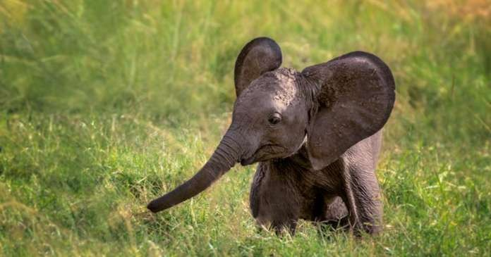 10-day-old injured elephant calf rescued in Assam from mud puddle