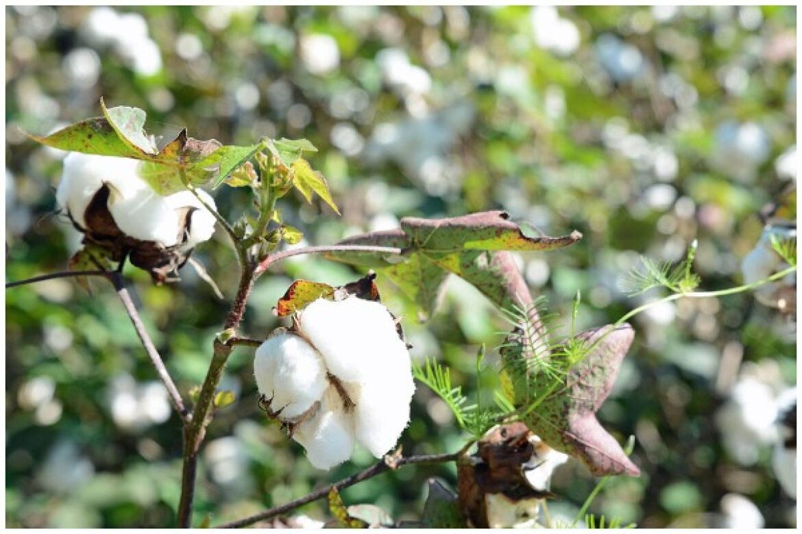 Andhra Pradesh Farmers Avail Benefits Of Open Market: Cotton Farmers In Guntur Prefer Private Traders To Traditional Buyers