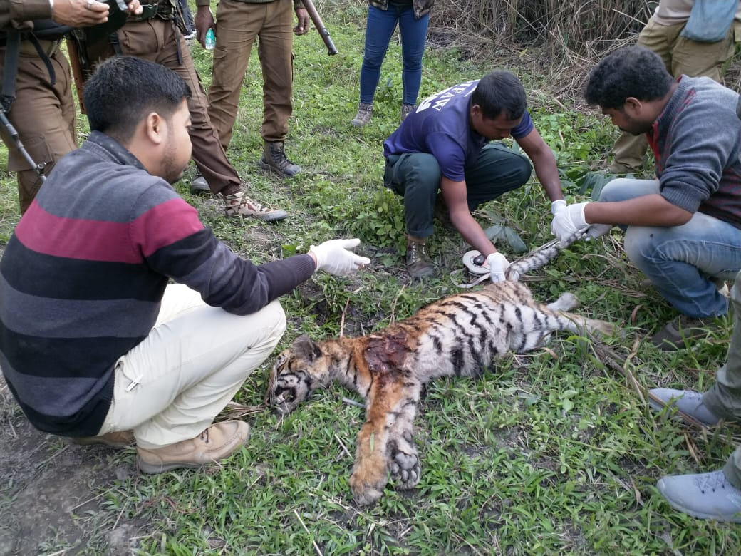 Tiger carcass found in Kaziranga National Park